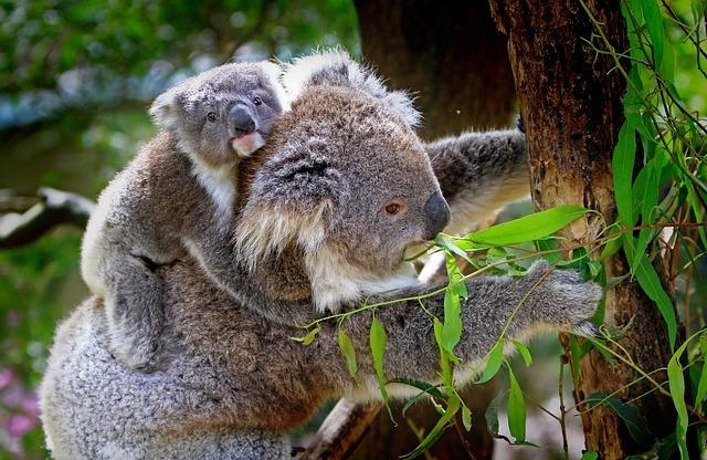 maxpixel.freegreatpicture.com-Mammals-Animals-Grey-Furs-Koala-Australian-Furry-61189.jpg