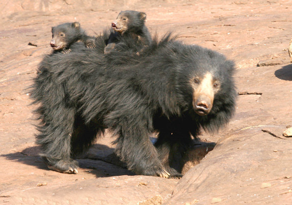 Indian_Sloth_Bear_with_cubs.jpg