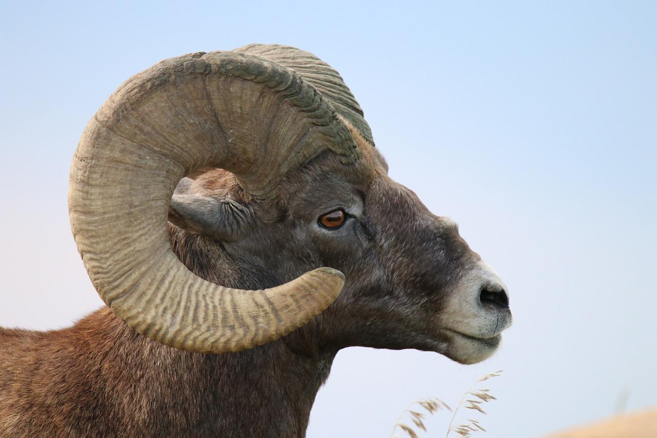 bighorn horn.jpg