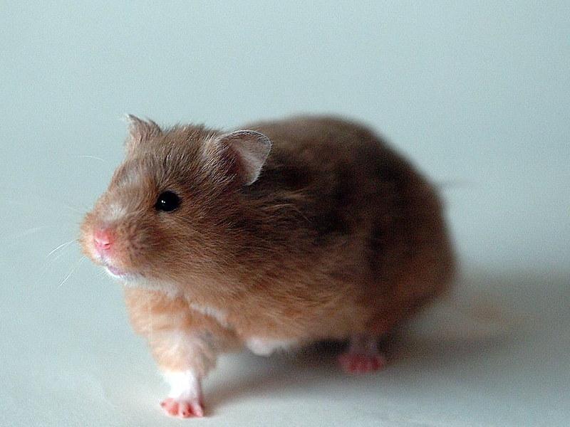 golden hamster.jpg