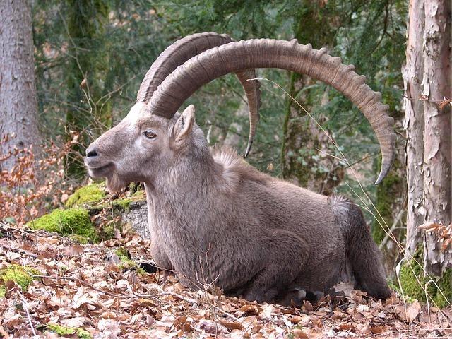 maxpixel.freegreatpicture.com-Horn-Capra-Wild-Mammal-Ibex-Alpine-Mountain-Goat-520926.jpg
