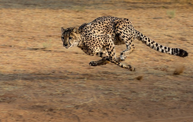 maxpixel.freegreatpicture.com-Hunt-Cheetah-Namibia-Africa-Cat-Run-2859581.jpg