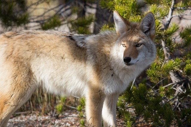 maxpixel.freegreatpicture.com-Park-Wildlife-Predator-Coyote-Nature-Wild-Canine-948817.jpg