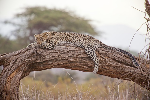 maxpixel.freegreatpicture.com-Safari-Africa-Leopard-Kenya-163035.jpg