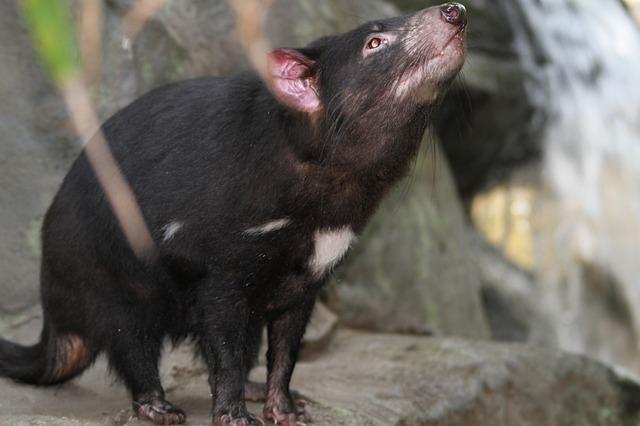 maxpixel.freegreatpicture.com-Sarcophilus-Harrisii-Species-Tasmanian-Devil-185719.jpg