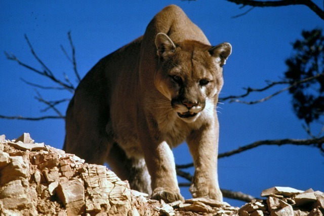 s_Cougar-Mountain-Lion-Predator-Feline-Puma-Cat-718092.jpg