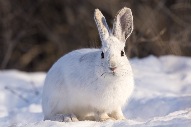 showshoe hare.jpg