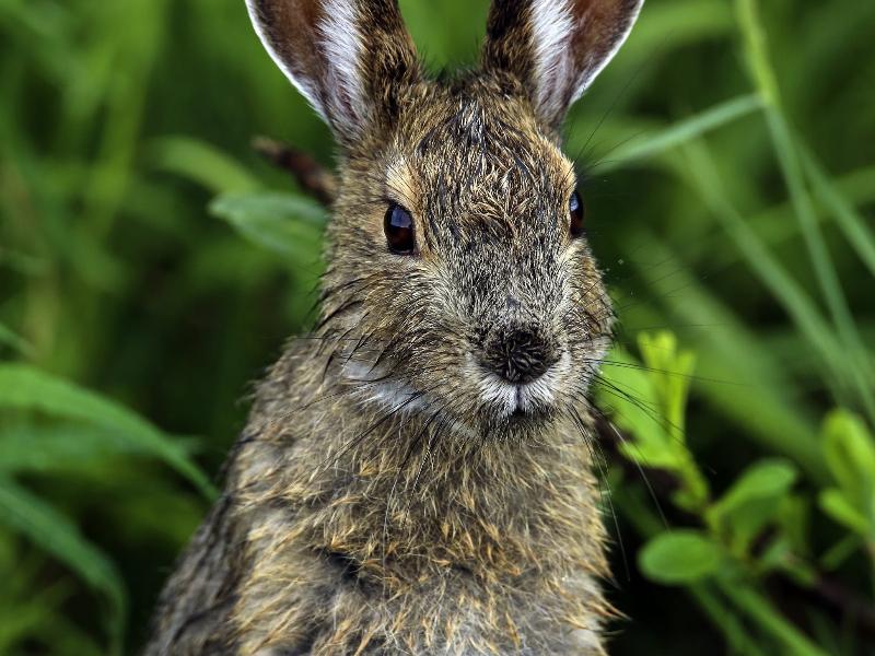 snowshoe hare1.jpg