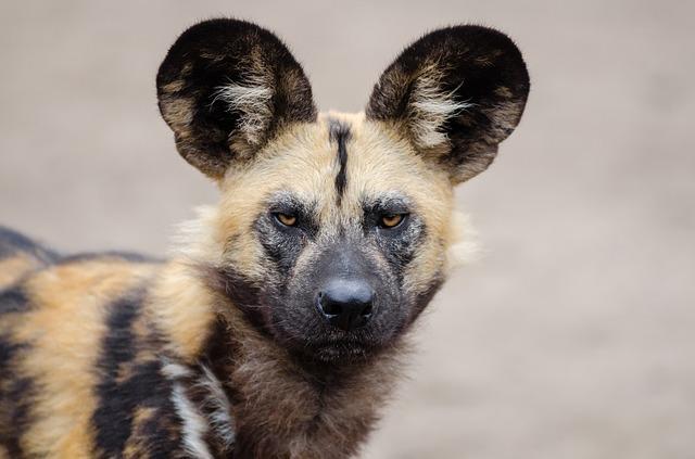 www.maxpixel.net-African-Wild-Dog-Carnivorous-Mammal-Lycaon-Pictus-1332236.jpg
