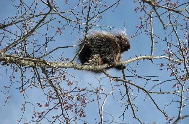 www.maxpixel.net-Canada-Porcupine-North-American-Porcupine-1554951.jpg