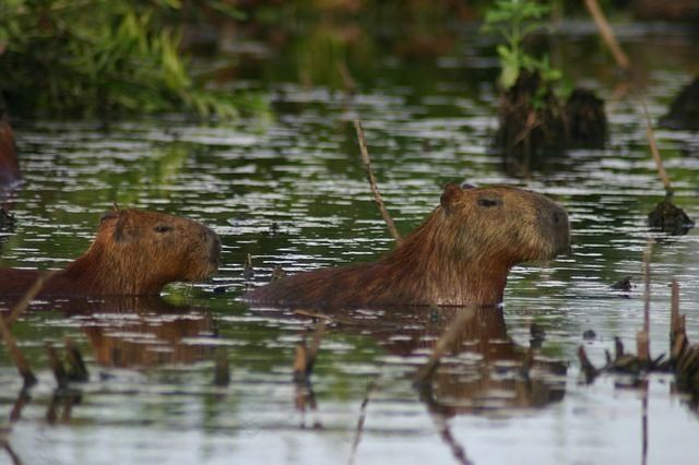 www.maxpixel.net-Mud-Capybara-Grass-203337.jpg