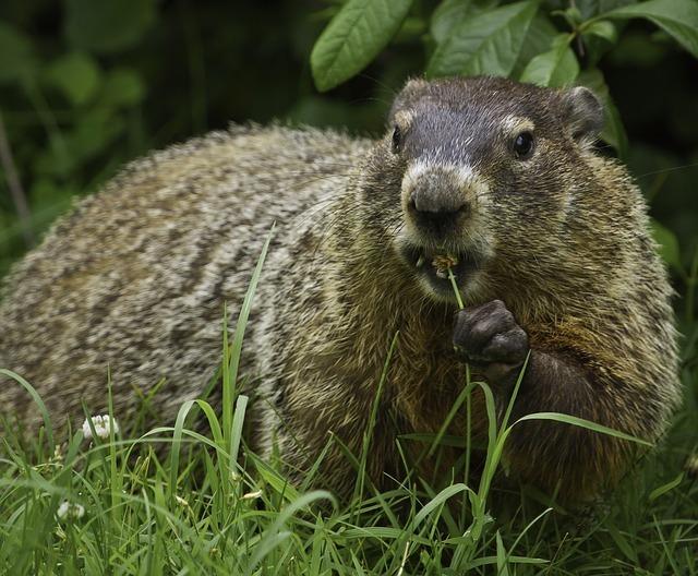 www.maxpixel.net-Nature-Rodent-Groundhog-Fur-Grass-Ground-Wildlife-956701.jpg