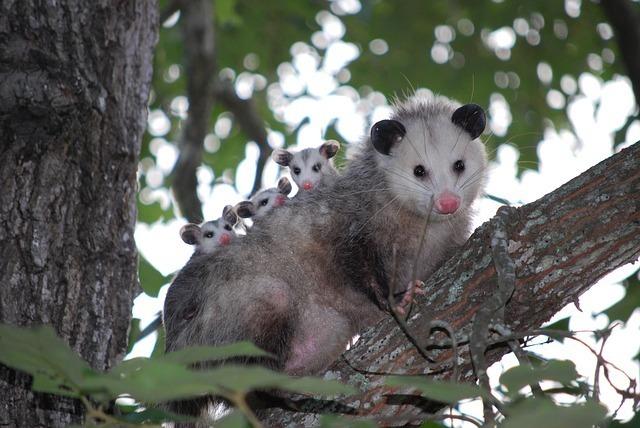 www.maxpixel.net-Possum-Wild-Wildlife-Texas-Opossum-Animal-Young-1802326.jpg