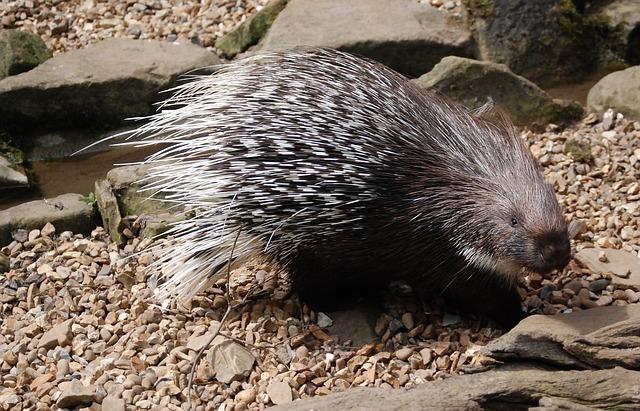 www.maxpixel.net-Quills-Mammal-Rodent-Porcupine-Spines-Herbivore-359166.jpg